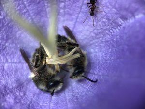 Klokjesdikpootbijen slapen in een campanulabloem